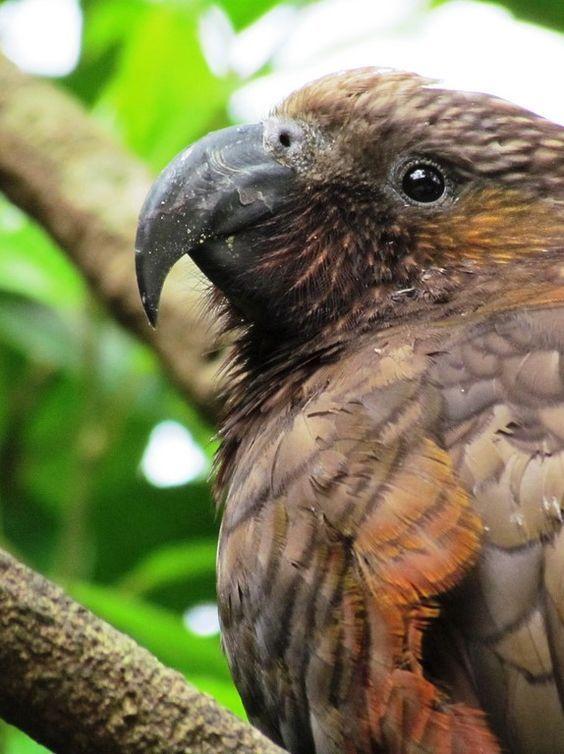 El kaka (Nestor meridionalis) es una especie de ave de la familia Psittacidae nativo de los bosques de Nueva Zelanda. Existen dos subespecies, el kaka de la Isla del Norte (Nestor meridionalis septentrionalis) y el kaka de la Isla del Sur (Nestor meridionalis meridionalis). El nombre kaka viene del idioma maorí y es el término general polinesio para papagayo.