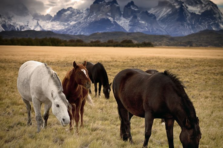 Wild Horses in Torres del Paine National Park, Chile. There were lots of horses roaming throughout the park. Puerto Weber, Magallanes and Antartica Chilena Region, Chile.
