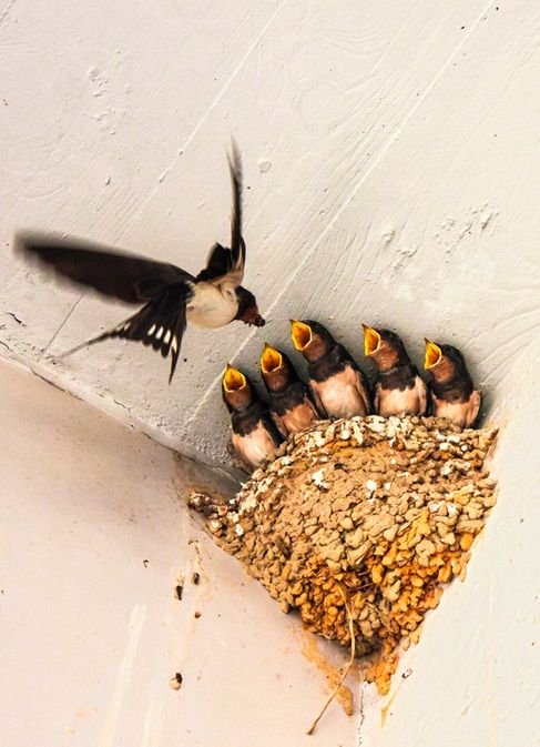 "Mom Swallow: ""Busy Feeding Her Growing Chicks..."""