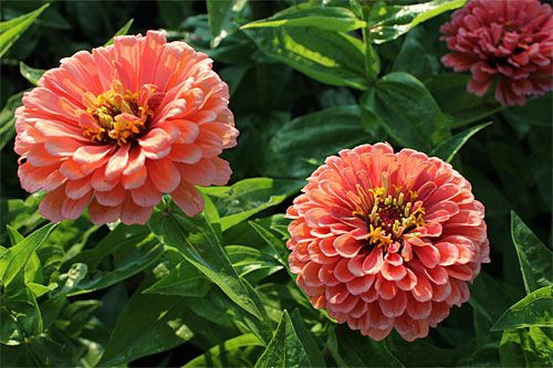 Information on Easy and Hearty flowers from seed