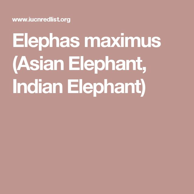 Elephas maximus (Asian Elephant, Indian Elephant)