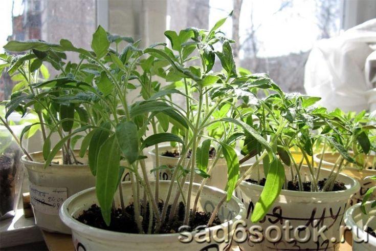 Экономный способ выращивания рассады томатов