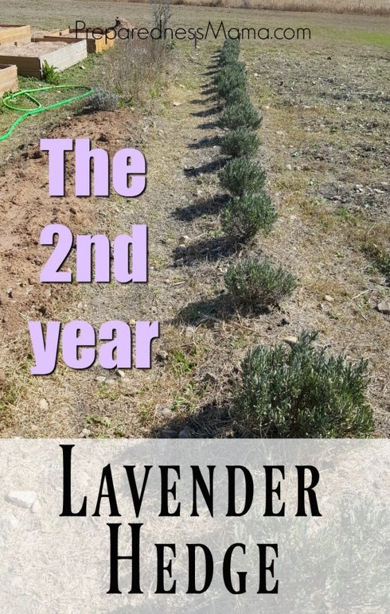 There isn't much maintenance with my lavender hedge year 2, it's looking great. A bit of compost and a bit of cleaning and you'll be enjoying a wonderfully fragrant summer lavender harvest | PreparednessMama