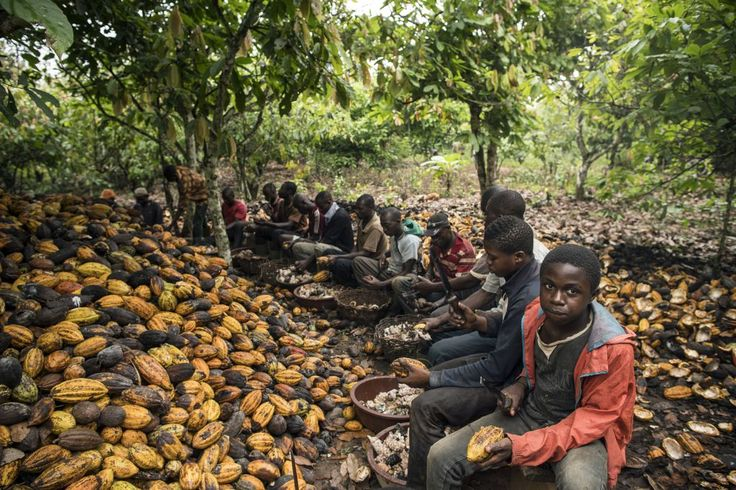 Children join farmers in breaking cocoa pods on an Ivory Coast farm in December…