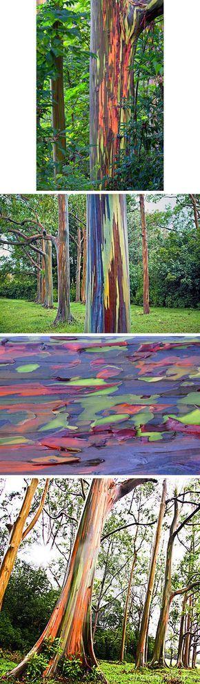 eucalipto arco-íris(Eucalyptus deglupta)