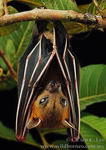 Morcego frugívoro pequeno de focinho curto (Cynopterus brachyotis)
