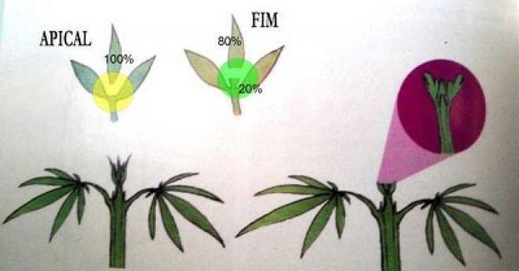 ¿Conoces la poda apical para tus plantas de marihuana? - http://growlandia.com/marihuana/conoces-la-poda-apical-para-tus-plantas-de-marihuana/
