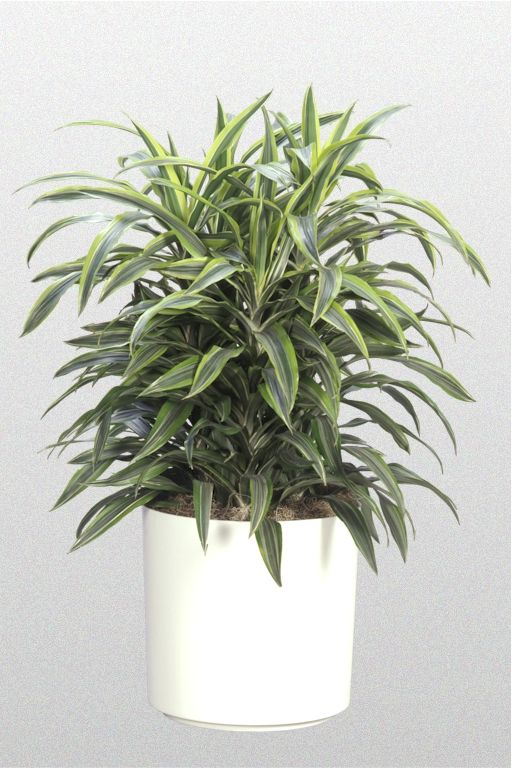 26 best dracaena images on pinterest indoor house plants for Planta tropical interior