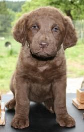 Wynonna- Chesapeake Bay Retriever puppy
