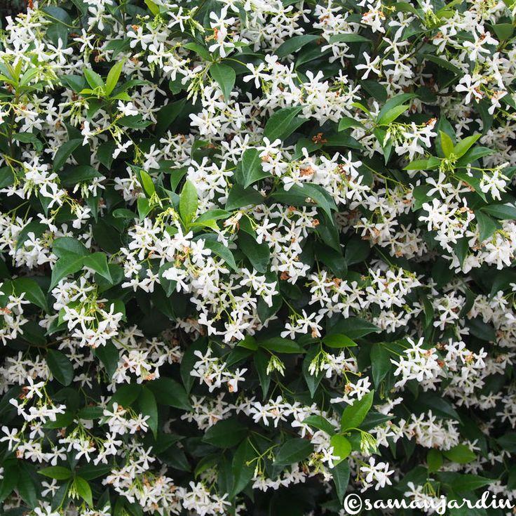 La championne des plantes grimpantes, le faux jasmin, ou jasmin étoilé, ou trachelospermum jasminoides a tout pour plaire : facile à cultiver, parfumée...