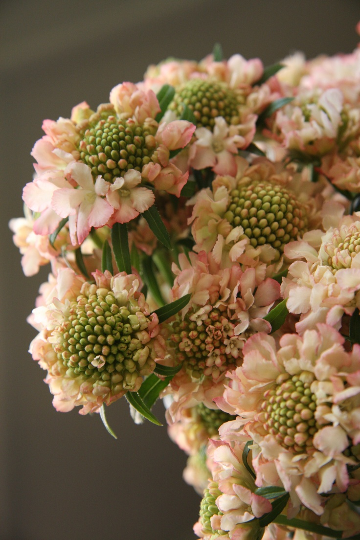 scabiosa Apricot    #smoothestdayever