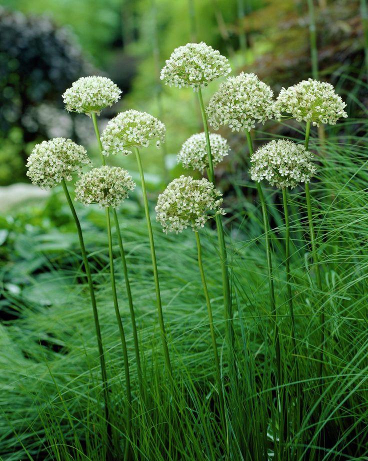 Schwarzer Lauch • Allium nigrum • Schwarz-Lauch • Pflanzen & Blumen • 99Roots.com