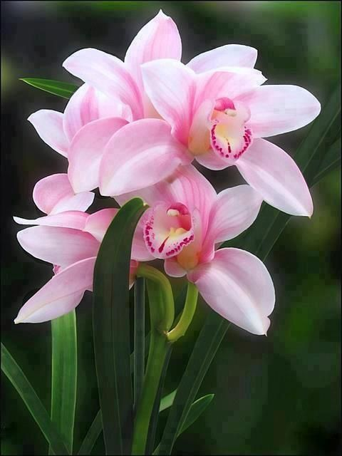 best  pink orchids ideas on   cymbidium orchids, Beautiful flower