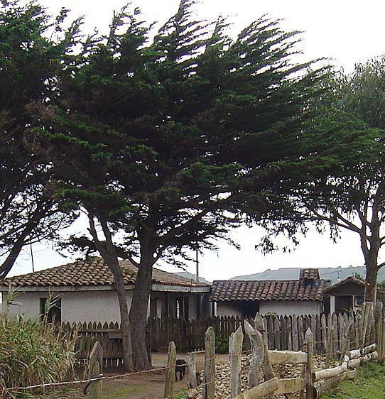 Pino Maritimo (Pinus Pinaster): Cobquecura Chile.
