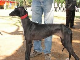 Caravan hound