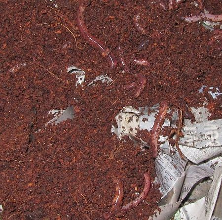 Red worms aren't just good for compost bins. They are also beneficial in plant containers.