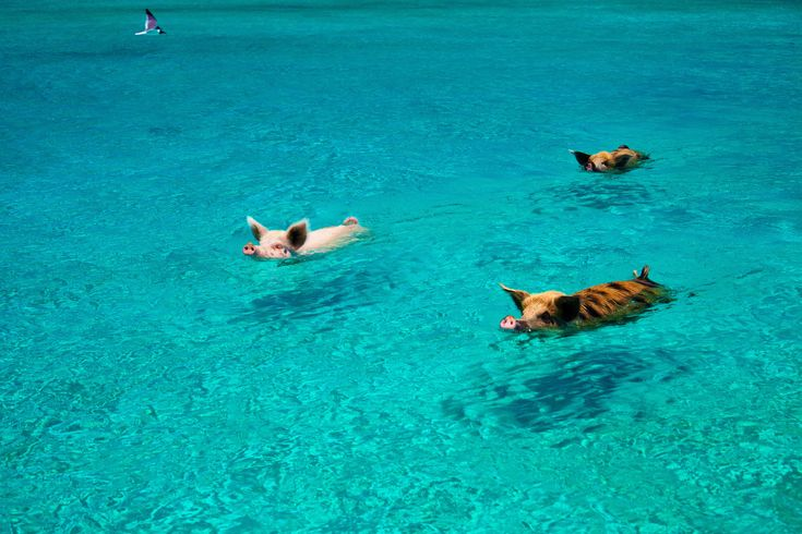 Pig Beach, Bahamas: Swimming Pigs Is A Thing On Island. #Interesting Dbl-click pic for article