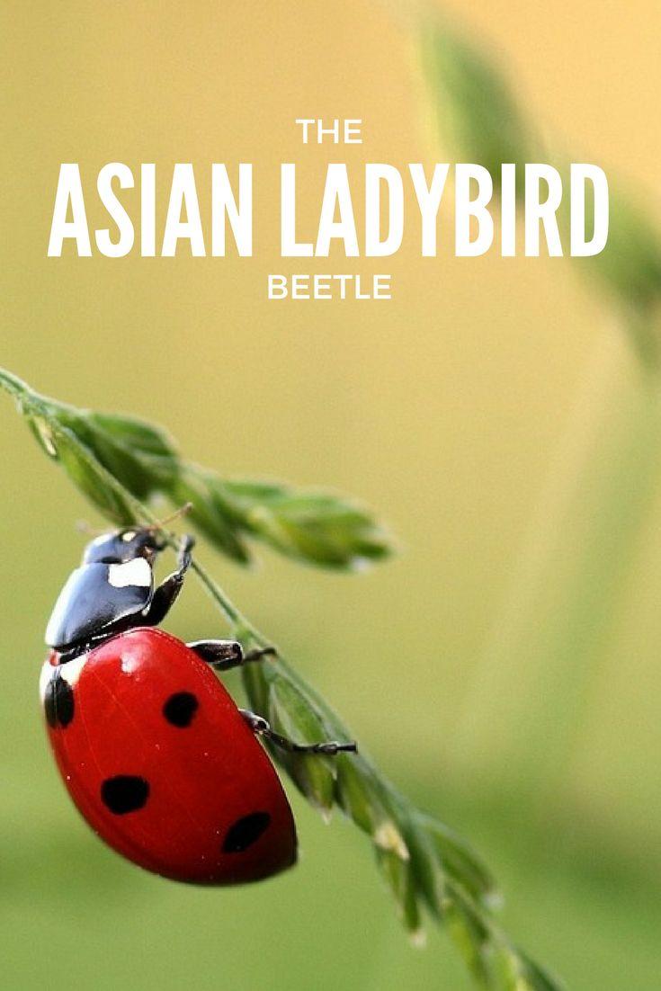 The Asian Ladybird Beetle | Family Farm School