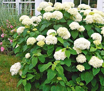 Anabelle Hydrangea: Also known as Hills-of-Snow (Maybe it's because of the flowers?!?). Partial to full sun, NOT for southwest desert climate. Blooms in late summer. :-)