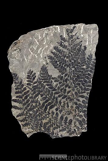 Seed fern (Neuropteris heterophylla)  Credit: NATURAL HISTORY MUSEUM, LONDON/SCIENCE PHOTO LIBRARY