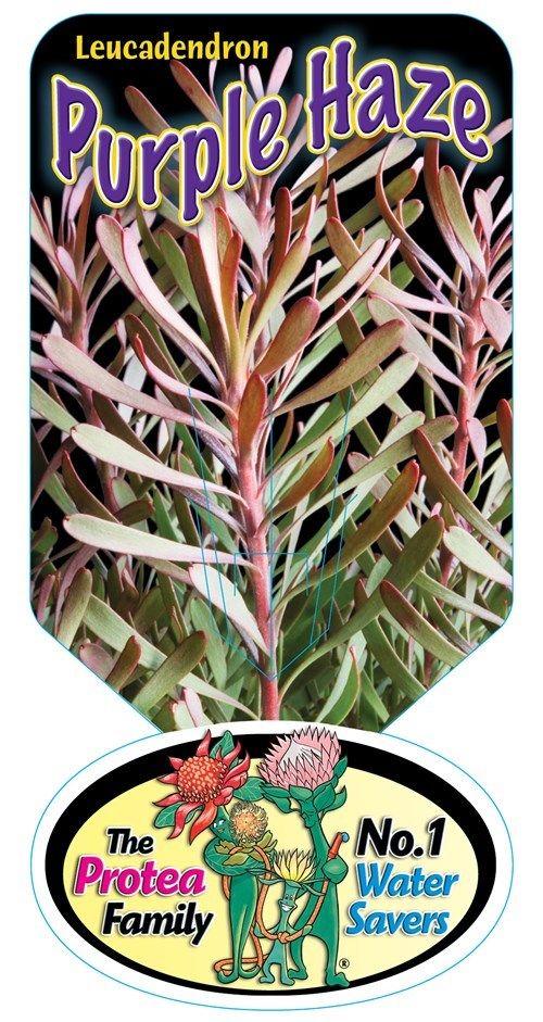 Leucadendron 'Purple Haze'