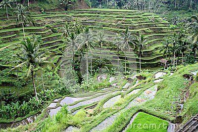 Rice fields in Ubud Bali