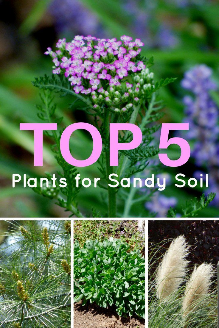 Top 5 Plants For Sandy Soil Gardening Know How S Blog Sandy Soil Planting In Sandy Soil Cool Plants