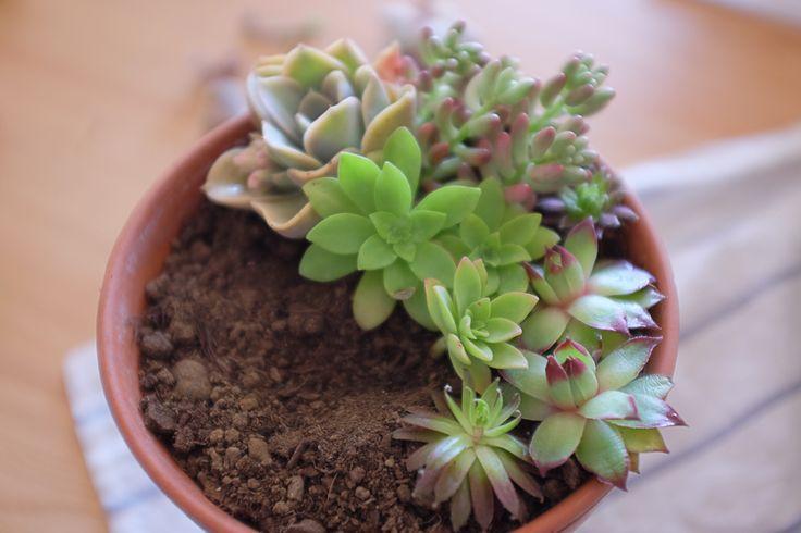 Les succulentes (= plantes grasses, cactus sans piquants). L'arrosage, l'entretien, leur nom, où en trouver, bouturage…
