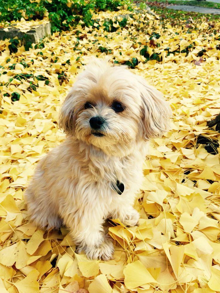 Sweet Yorki-poo, wonderful family dog