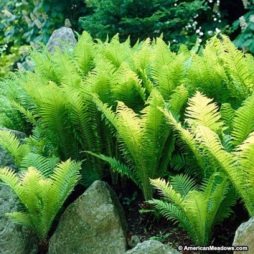 11 best McGovern Slopeside Garden images on Pinterest | Bellis ...