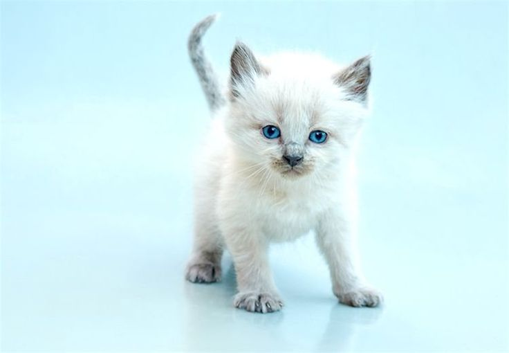 5 Things To Know About Balinese Cats Balinese Cat Cats