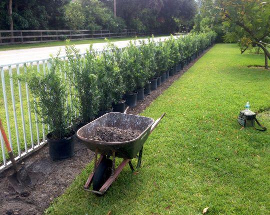 Podocarpus hedge before and after | Hedges