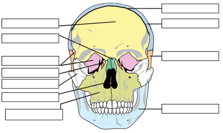 skull labeling anatomy pinterest skulls and anatomy. Black Bedroom Furniture Sets. Home Design Ideas