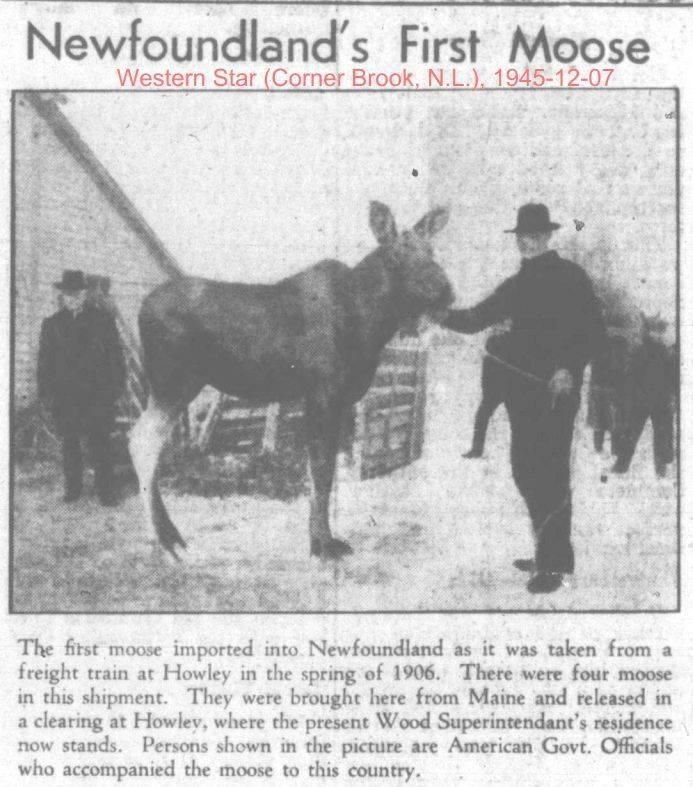 Newfoundland's first moose