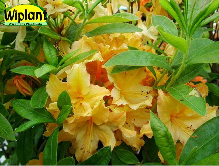 Rhododendron Gent-gruppen 'Kullanuppu', Azalea. Blommar i juni. Höjd: 1-1,2 m. Zon II(III).