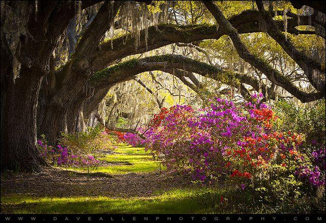Charleston SC Magnolia Plantation Gardens - Memory Lane by Dave Allen Photography, via Flickr