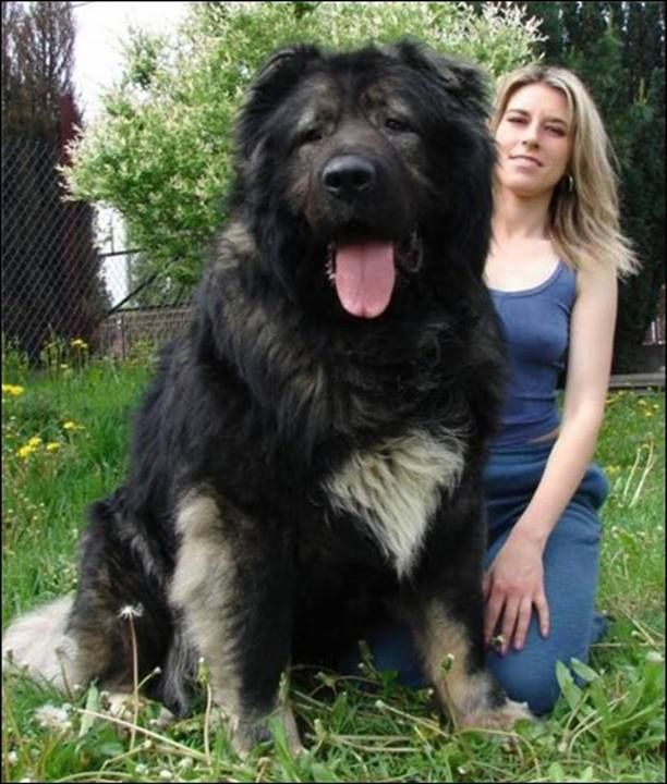 Russian Caucasian Mountain dog- I love how this dog could literally easily eat that lady yet he just looks happy with life and they are so loyal! I love dogs sm I cannot explain!