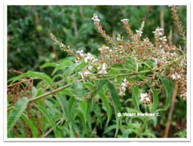 Hierba luisa alivia los trastornos g stricos cr nicos for Salsa de hierba luisa