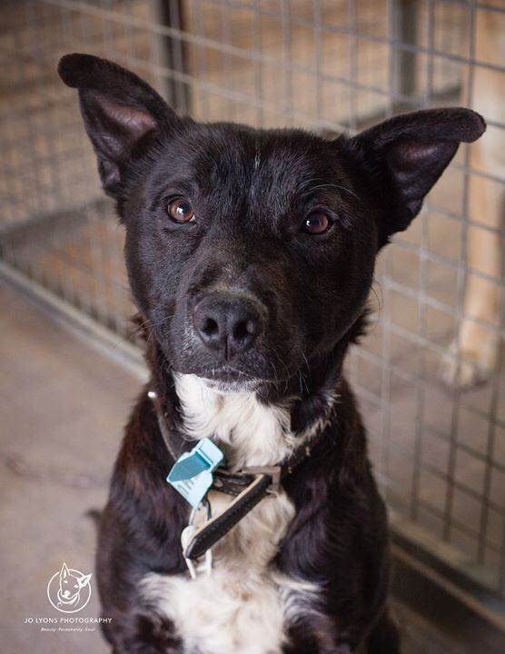 Little Ross, the third boy I photographed today ... he is a joyful little guy, very Border Collie/Kelpie-like in his physique and mannerisms with a tiny hint of Staffy mixed in. He's putting on his serious face for this photo but you'll see his smiling ph