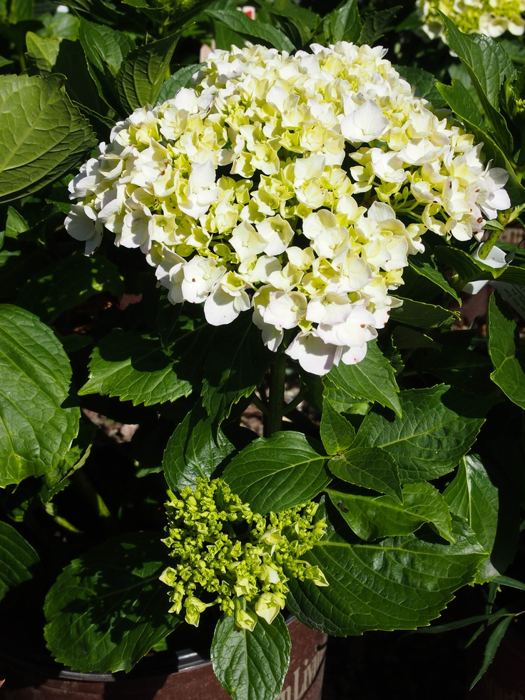 Pin by snavely 39 s gardencorner on flowering shrubs pinterest for Large flowering shrubs