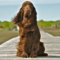 #dogalize Razas de Perros: Spaniel de Campo caracteristicas y cuidados #dogs #cats #pets
