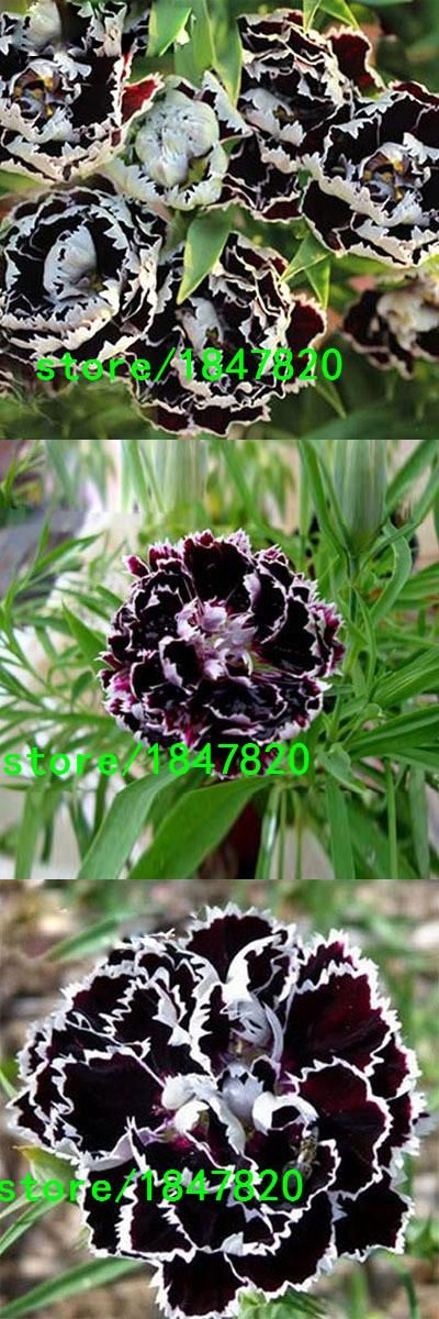 Rare Black Carnation Seeds Balcony Potted Courtyard Garden Plants Rose Dianthus Caryophyllus Flower Seeds200PCS Free Shipping