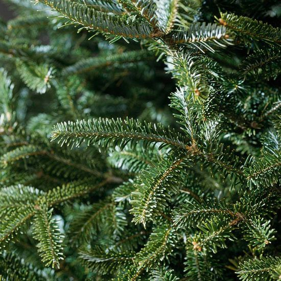 Frasier Fir - zone 4-7  A top landscape tree, as well as a favorite Christmas tree, Frasier fir offers beautiful dark green needles and a wonderful pyramidal shape. Another bonus: This tree is native to Eastern North America