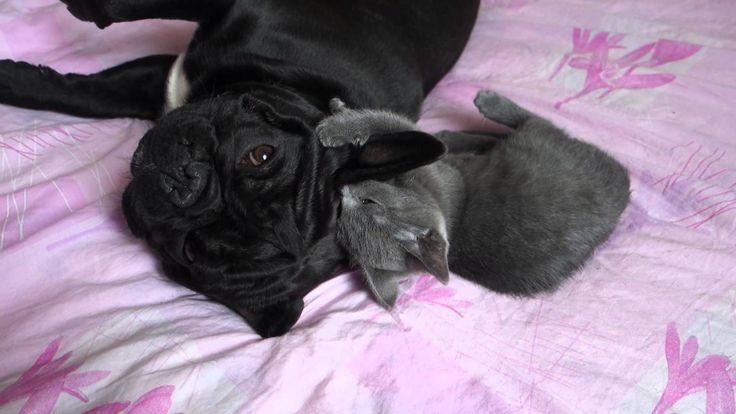Russian French Bulldog Leo & Russian blue cat Tokia