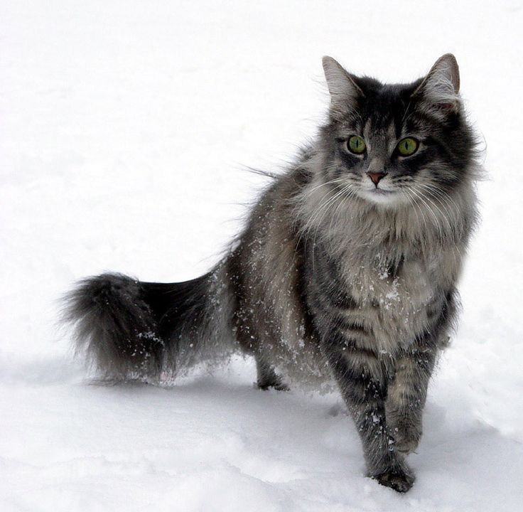 Norwegian Forest Cat most beautiful cats in the world! Well...I've found all my rescue cats were the loveliest...