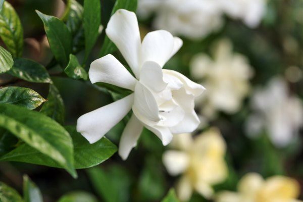 When To Fertilize Potted Gardenias In 2020 Fragrant Plant Gardenia Plant Plants