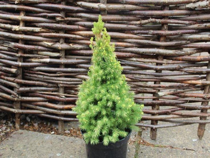 Picea glauca 'Maygold'