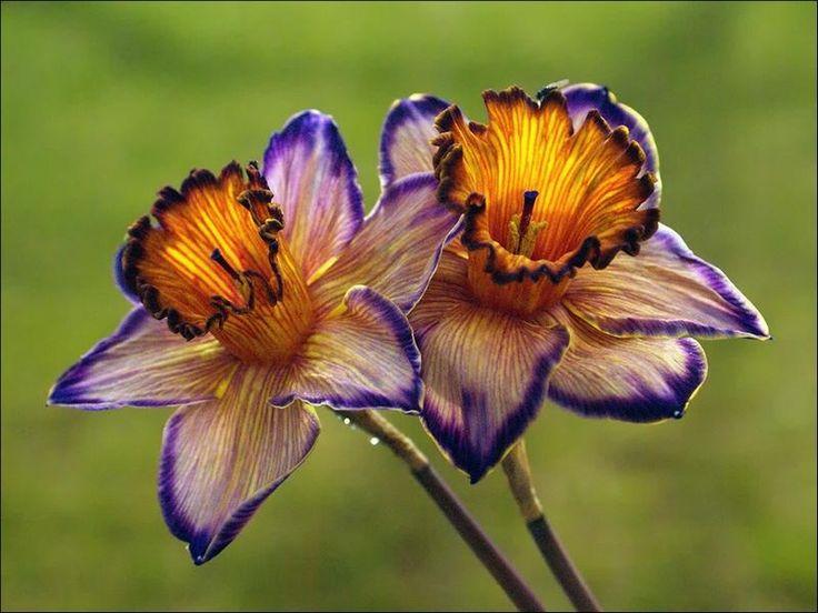 Dragon Daffodils  http://ionwkathy.tumblr.com/post/17869621283/andyouwhisperyouloveme-dragon-daffodils-on