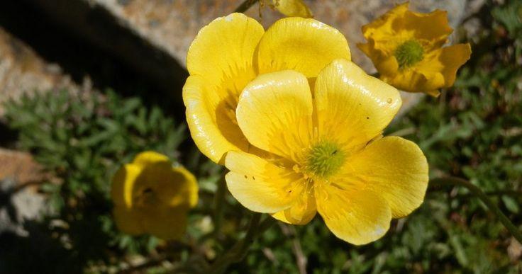 Flores amarillas: Botones de oro