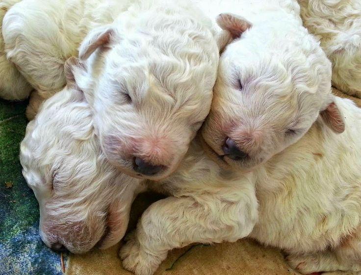 Itty bitty Komondor puppies!! #Puppies # Komondor #hungary